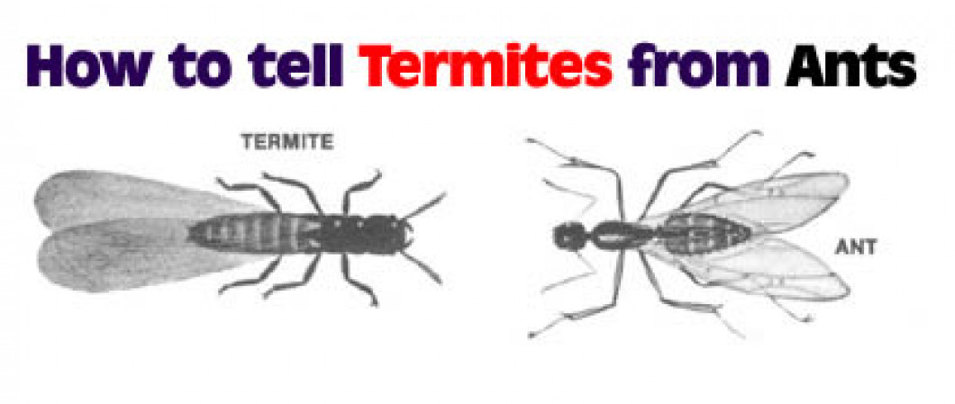 How to Tell Termites from Ants
